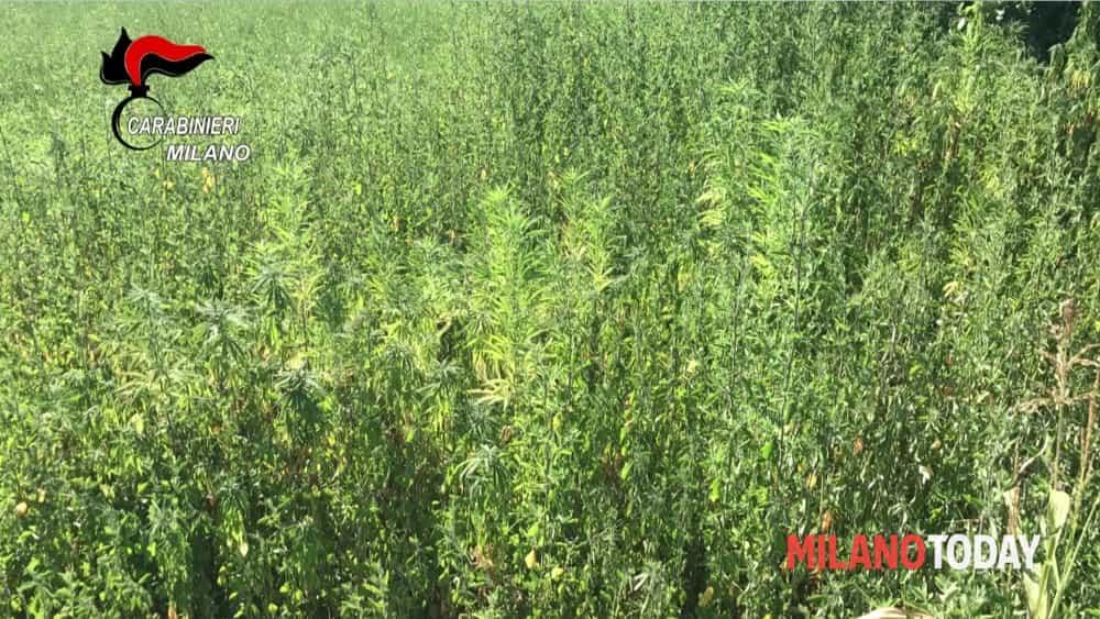 Mega piantagione di marijuana a ossona oltre 1000 piante for Piante da frutto a 1000 metri