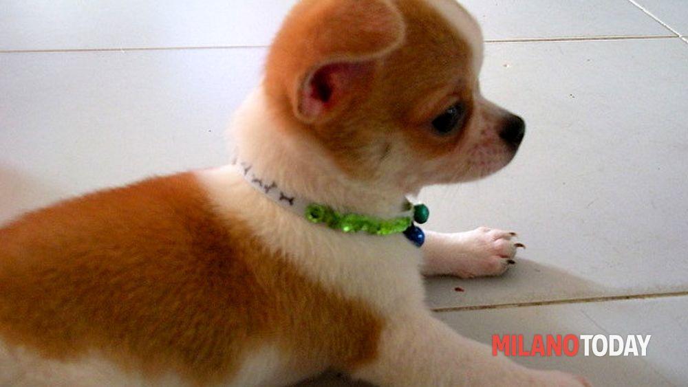 Vende Cuccioli Di Chihuahua Senza Vaccinazioni Denunciata
